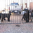 Gate_dogs