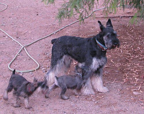 Queenie both pups