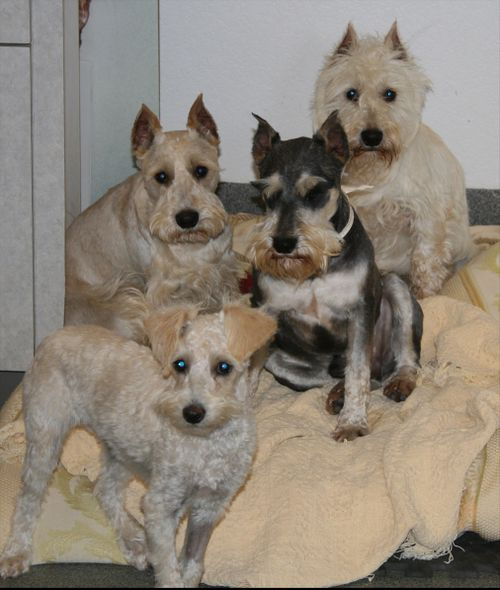 3 minis schnoodle Pippin Walter Emmit small